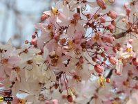 ชมดอกกัลปพฤกษ์ ที่มหาวิทยาลัยขอนแก่น พิเศษ ดาวน์โหลดภาพดอกกัลปพฤกษ์